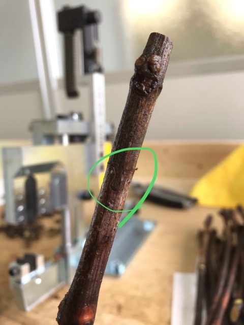 穂木と台木が接合
