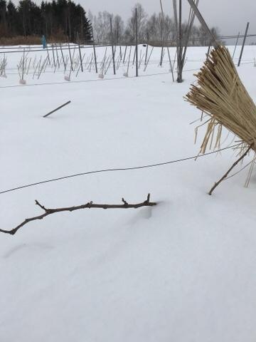 雪から枝が出ているシャルドネ