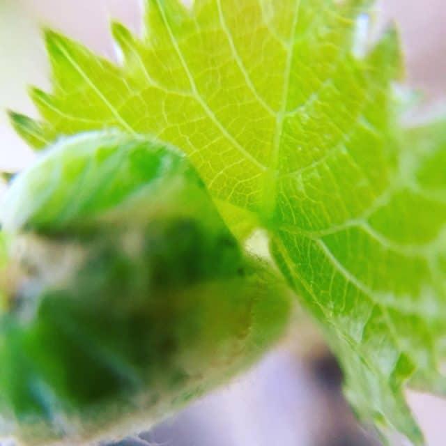 ブドウ挿し木の出芽