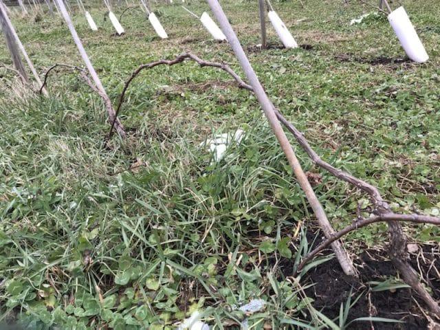葡萄畑、剪定枝、台木、ぶどう苗木